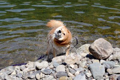 ペット 川遊び 柴犬 ドリル