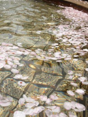 公園 水遊び 桜