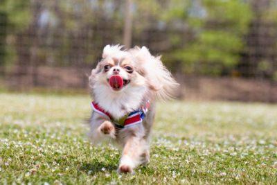 川遊び 兵庫 県 犬 ドッグラン 嬉しそう チワワ