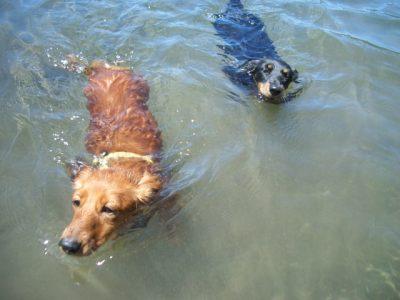 ペット 川遊び 犬 泳ぐ 二匹